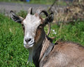 Free Goat. Stock Photo - 14136560