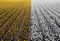 Free Field Of Yellow And White Daffodils And Tulips Stock Image - 14138751