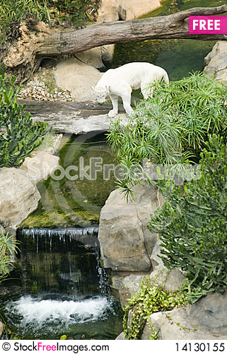 Free A White Tiger  In The Zoo Royalty Free Stock Photo - 14130155
