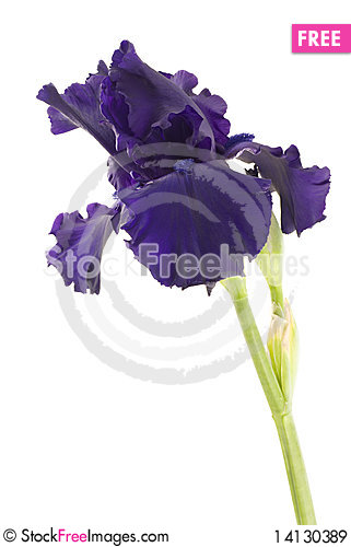 Free Purple Iris Royalty Free Stock Images - 14130389