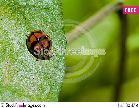 Free Red Lady Bug Stock Images - 14130474