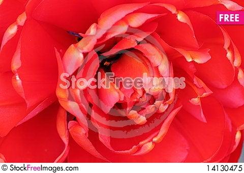 Free Double Tulip Royalty Free Stock Photo - 14130475