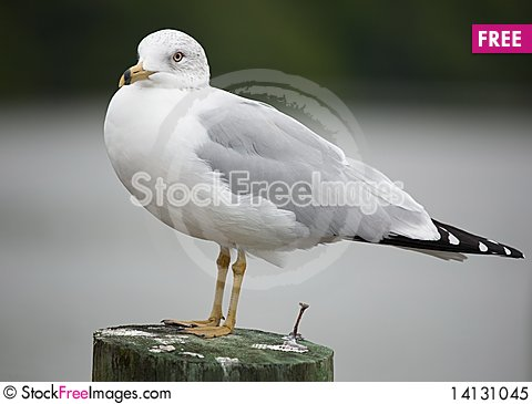 Free Seagull Royalty Free Stock Photo - 14131045