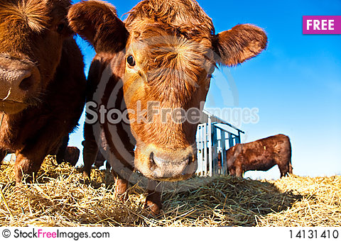 Free Friendly Cattle On Straw Stock Photo - 14131410