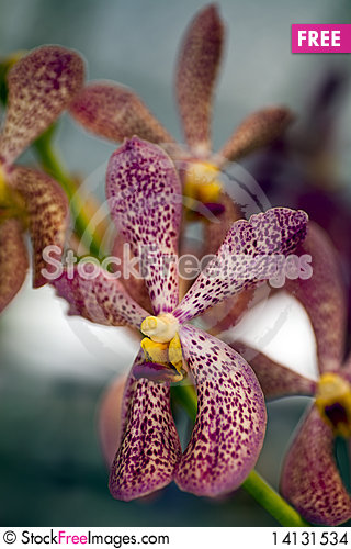 Free Spotted Orchids Stock Images - 14131534