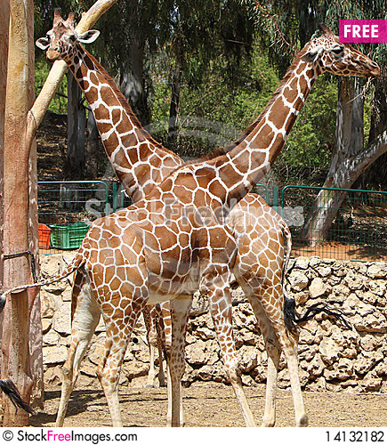 Free Young Giraffe Couple At The Zoo Stock Photography - 14132182