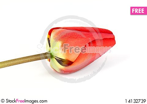 Free Tulip Royalty Free Stock Images - 14132739