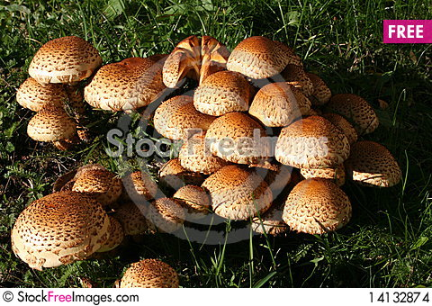 Free Mushrooms Stock Images - 14132874
