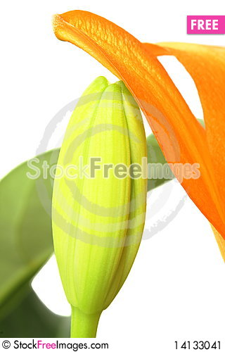 Free Orange Tiger Lily Bud Stock Image - 14133041