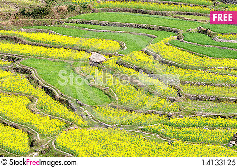 Free Rapeseed Fields Royalty Free Stock Photo - 14133125