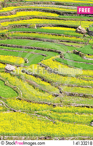 Free Rapeseed Fields Royalty Free Stock Photos - 14133218