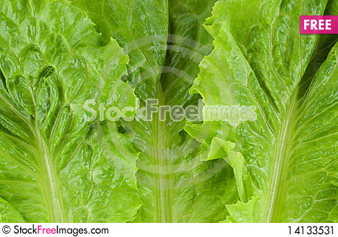 Free Green Fresh Lettuce Stock Image - 14133531