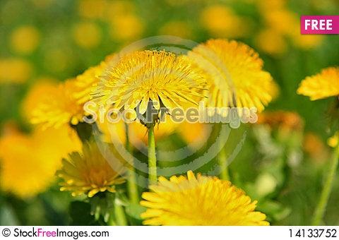 Free Sun Flower Stock Photography - 14133752