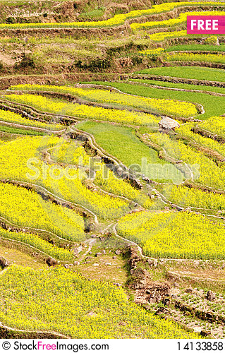 Free Rapeseed Fields Royalty Free Stock Photos - 14133858