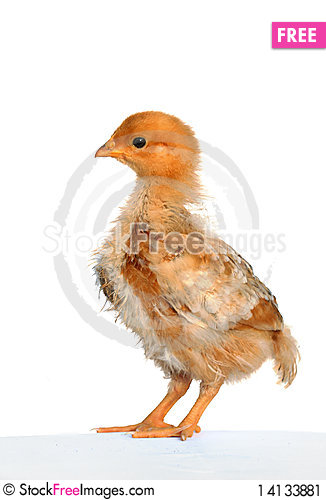 Free Soft And Fluffy Chick Stock Image - 14133881