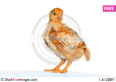 Free Soft And Fluffy Chick Stock Image - 14133891