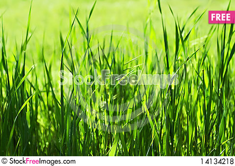 Free Green Grass In Sunlights Royalty Free Stock Photos - 14134218