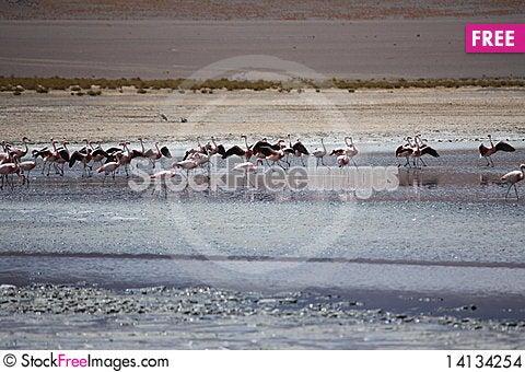 Free Flamingos Stock Images - 14134254
