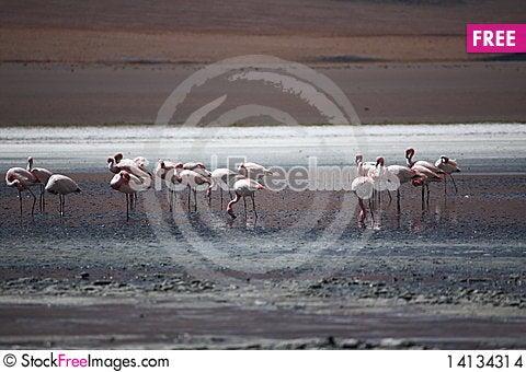Free Flamingos Stock Images - 14134314