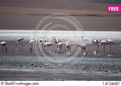 Free Flamingos Stock Image - 14134451