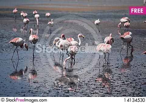 Free Flamingos Stock Photo - 14134530
