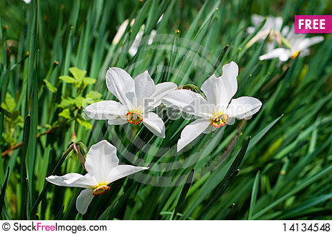 Free Splendid Spring Flowers Of Narcissuses. Royalty Free Stock Photos - 14134548