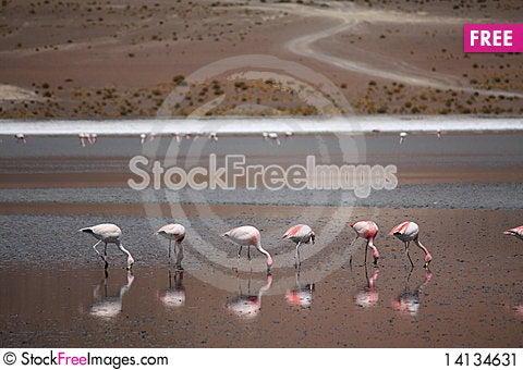 Free Flamingos Stock Image - 14134631