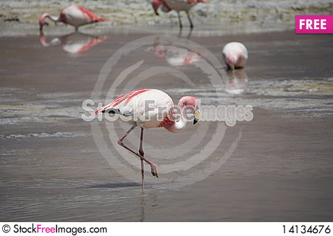 Free Flamingos Royalty Free Stock Image - 14134676