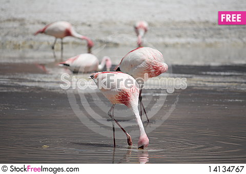 Free Flamingos Royalty Free Stock Photography - 14134767