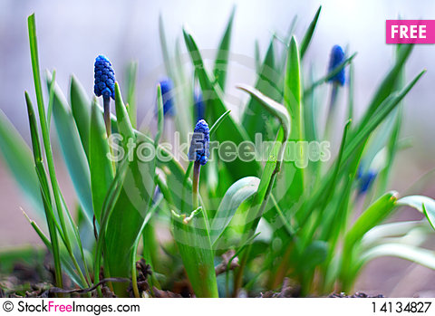 Free Spring Young Blue Flowers Royalty Free Stock Photography - 14134827