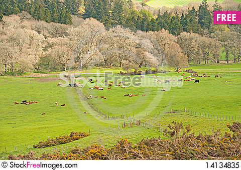 Free Cows Put Out To Fresh Pasture In Springtime. Royalty Free Stock Photo - 14134835