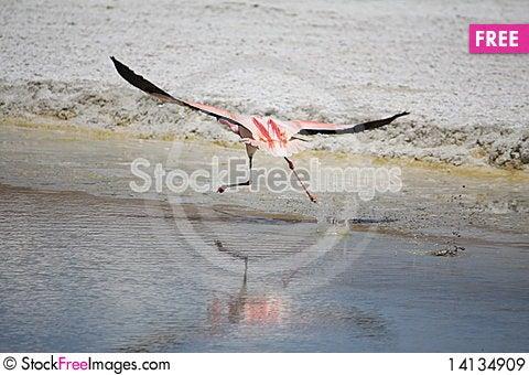 Free Flamingos Royalty Free Stock Images - 14134909