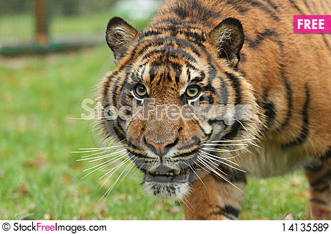 Free Young Tiger Royalty Free Stock Images - 14135589