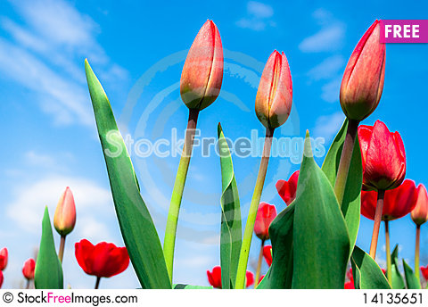 Free Young Red Tulips Against The  Sky Stock Image - 14135651