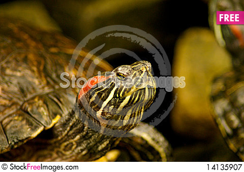 Free Turtle Royalty Free Stock Photography - 14135907