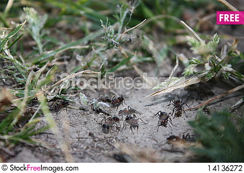 Free Ants Stock Photography - 14136272