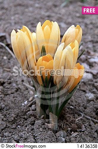 Free Crocus Royalty Free Stock Photos - 14136358