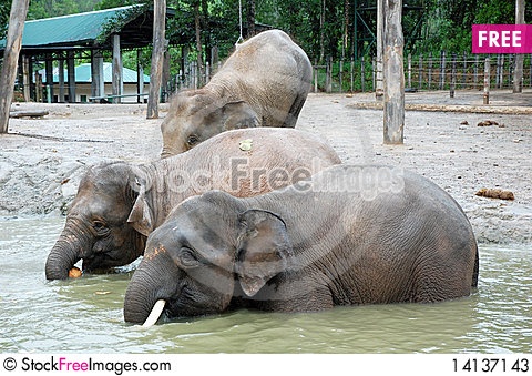 Free Elephants Stock Photos - 14137143