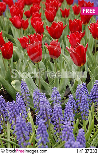 Free Red And Purple Bulbs Stock Photos - 14137333