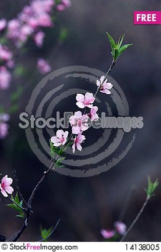 Free Peach Blossom Royalty Free Stock Photo - 14138005