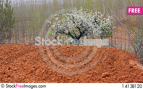 Free Pear Blooming Stock Photo - 14138120