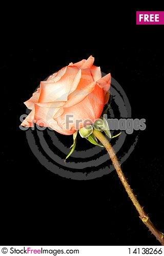 Free Rose Royalty Free Stock Image - 14138266