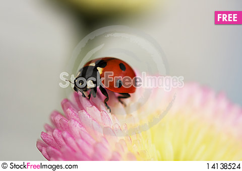 Free Ladybug On A Pink Flower Stock Images - 14138524