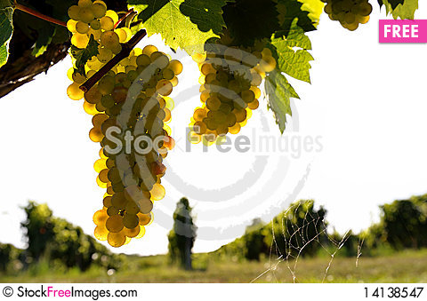 Free Vin Blanc Royalty Free Stock Photography - 14138547