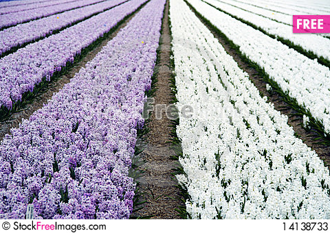 Free Field Of Hyacinths In Purple And White Stock Photos - 14138733