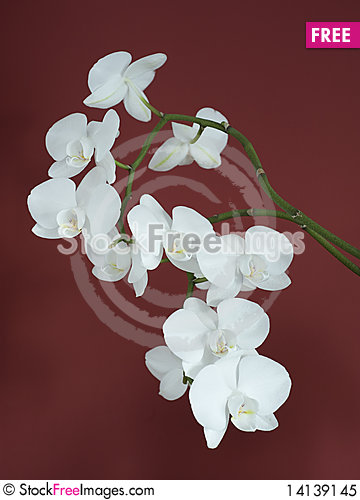 Free White Orchid Royalty Free Stock Photo - 14139145