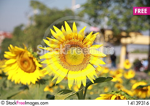 Free Sunflower In Town Royalty Free Stock Image - 14139316
