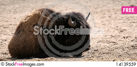 Free Bison Royalty Free Stock Images - 14139559