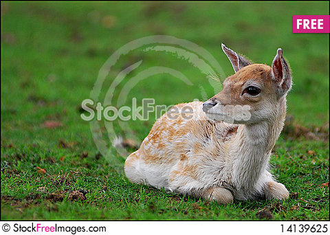 Free Fallow Deer Royalty Free Stock Photo - 14139625