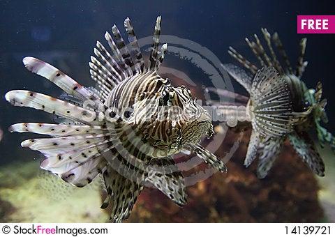 Free Red Lionfish Stock Image - 14139721